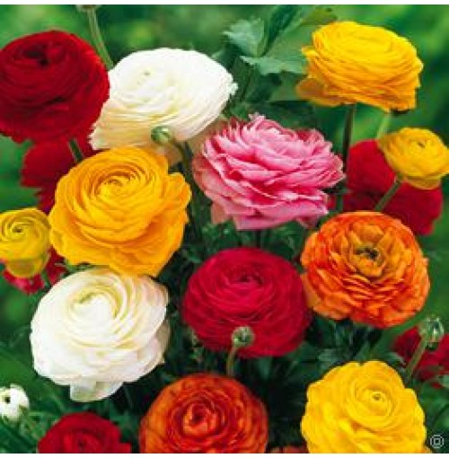 Ranunculus vibrantly coloured blooms -seed